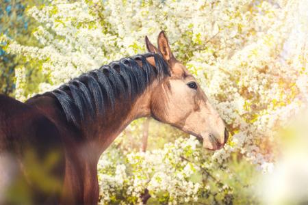 Portrait of the buckskins Akhal-Teke horse on white blooming trees background