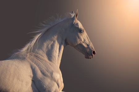 Portrait of cremello Akhalteke horse isolated on cremello gradient background