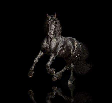 Big black Friesian horse runs isolated on the black background