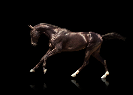 Black Akhalteke horse with two white hind legs and blue eyes runs gallop isolated on the black background