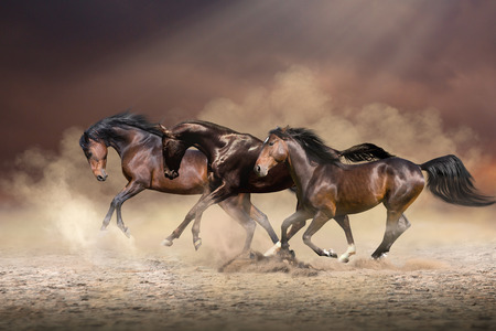 Herd of horses run forward on the sand in the dust on evening sky and dust background