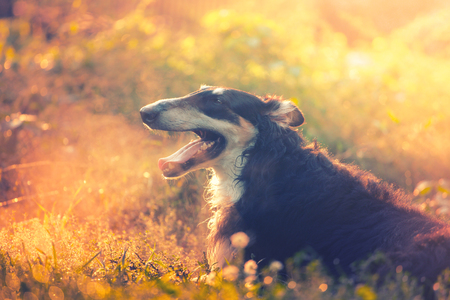 Big black Russian borzoi lies on the grass in the golden sunset light with the steam of his breath. Hunting dog is relaxing in the grass Stockfoto