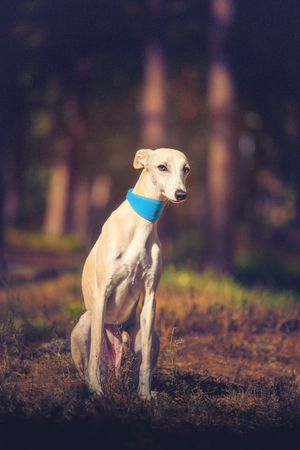 Whippet dog in turquoise collar sitting on the ground on forest background and looking at the camera Stockfoto