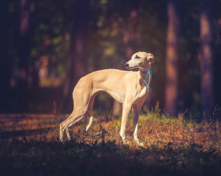 Whippet dog in turquoise collar standing on forest background