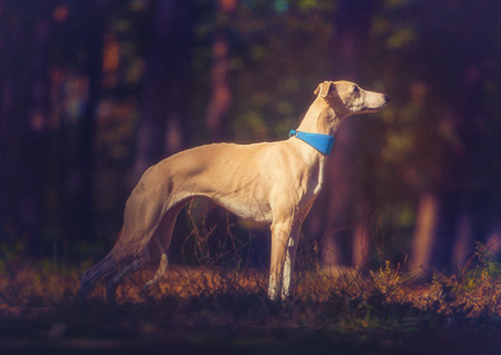Whippet dog in turquoise collar stays on forest background Stockfoto