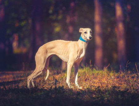 Whippet dog in turquoise collar stays on forest background and looking at the camera