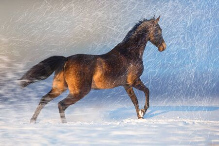 Brown Akhalteke horse run on the snow in winter evening