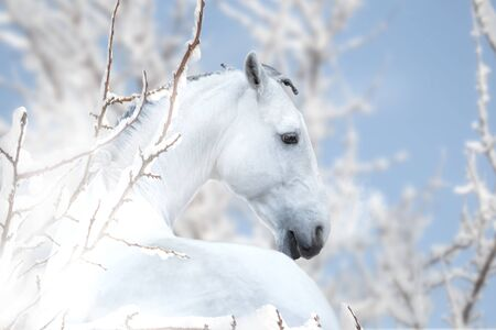 Portrait of white horse stay on the snow winter background