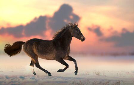 Brown Akhalteke horse run gallop on the snow in sunset Standard-Bild