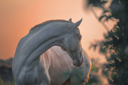 Portrait of a pearl pink Akhalteke  horse on the sunriset background in the morning