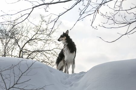 Portrait of black Russian borzoi on the sky and branches background