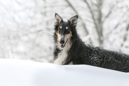 Black Russian wolfhound lies on the snow