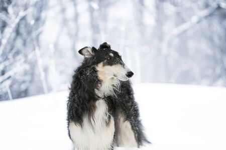 Black Russian wolfhound stands on the snow