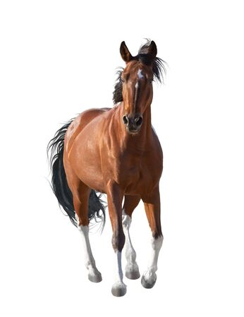 Red horse with white legs runs forward isolated on white background