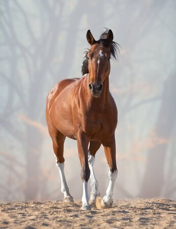 Red horse with black mane and tale and white legs steps on the sand on the foggy forwest background Standard-Bild