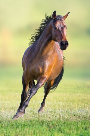 Bay horse runs on the green grass on green background