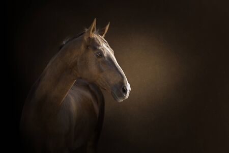 The portrait of chestnut horse on dark background Stockfoto