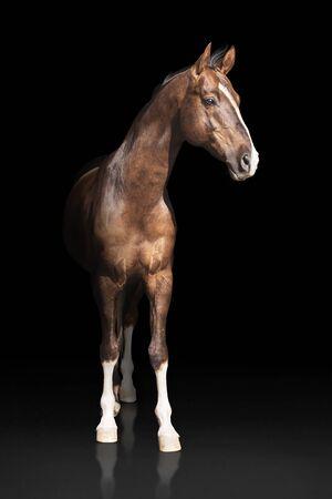 The portrait of chestnut horse on dark background Standard-Bild