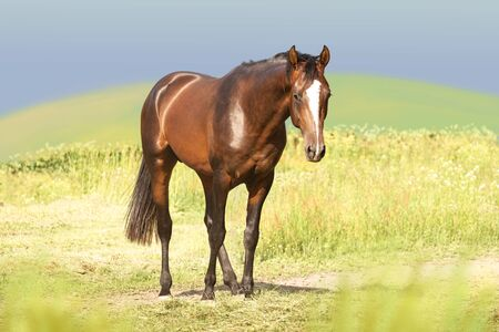 Bay Akhal-Teke horse stands on the green field background
