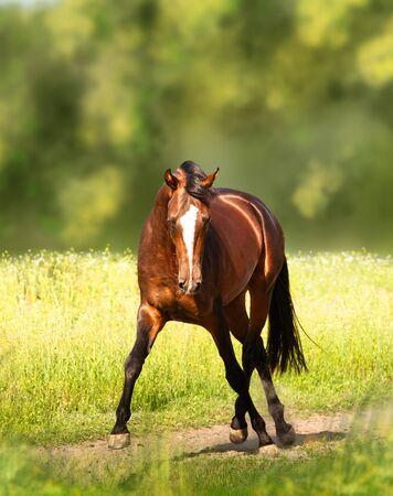 Bay Akhal-Teke horse runs on the green field background Stockfoto