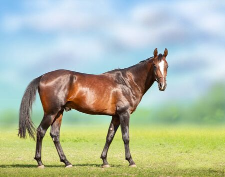 Exterior of Bay Akhal-Teke horse on the green field background Stockfoto