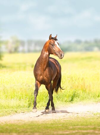 Bay Akhal-Teke horse runs on the green field background Standard-Bild