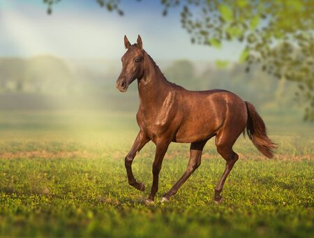 Brown young Akhal-Teke mare runs on the field Stock fotó