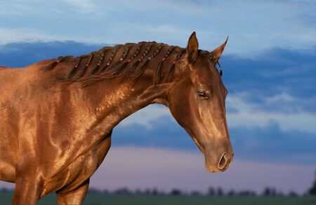 Portrait of the young Akhal-Teke horse on the sky background