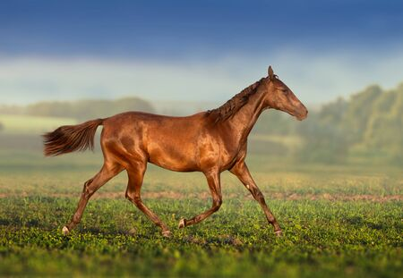 Brown young Akhal-Teke mare runs on the field Stockfoto