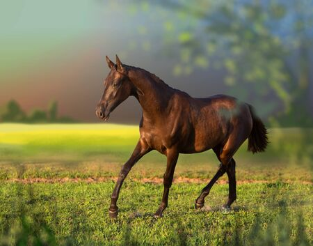 Brown young Akhal-Teke mare runs on the field Standard-Bild