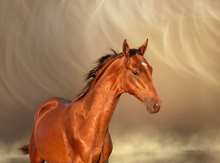 Portrait of the young bay Akhal-Teke horse with white spon on the elbow