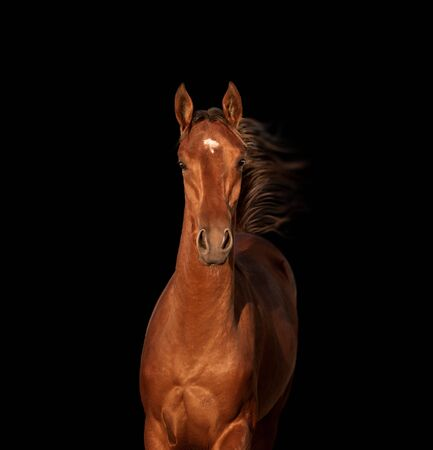 Portrait of bay horse isolated on black background