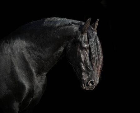 Portrait of black Friesian horse on black background