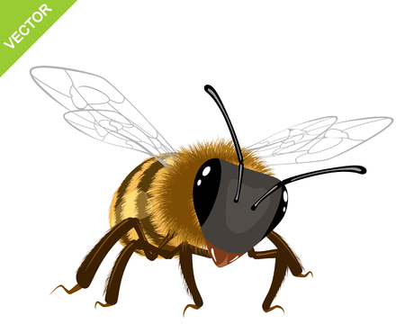 antennae: Vector illustration of a bee on white background