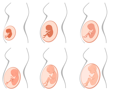 unborn: Vector illustration of a six pregnancy stages
