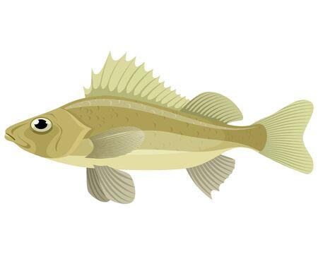 Vector illustration of a fresh water ruff Illustration