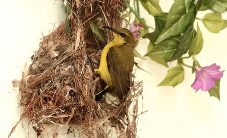 A Sunbird trying to build its nest. photo
