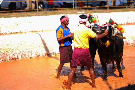 planting season: Surathkal,Karnartaka,India - December 3 2014 : Buffalo race.The event is normally held marked the beginning of sowing operations for the second round of crops the rice planting season and marks the importance of buffaloes. Editorial