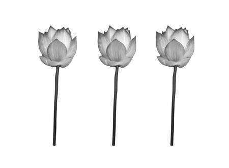Black and white lotus flower isolated on white background. 免版税图像