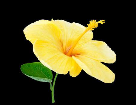 Hibiscus yellow on black background