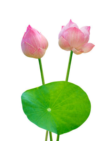 Lotus flower with Lotus leaf isolated on white background