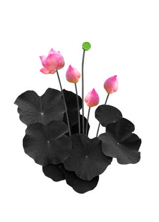 Lotus flower color with Lotus leaf black isolated on white background 免版税图像