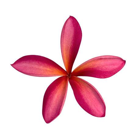 Frangipani flower isolated on white background, 免版税图像
