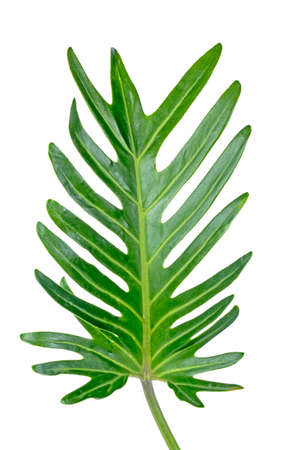 jungle Monstera leaves isolated, Swiss Cheese Plant, isolated on white background