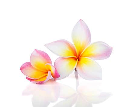 plumeria , frangipani flowers isolated on white background. 免版税图像