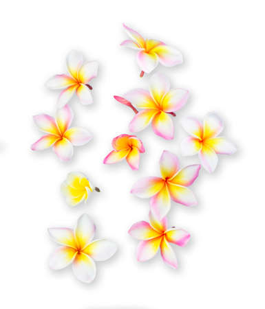 Plumeria or frangipani tropical flowers isolated on white background.