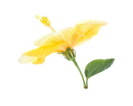 Bright large flower of yellow hibiscus isolated on white background