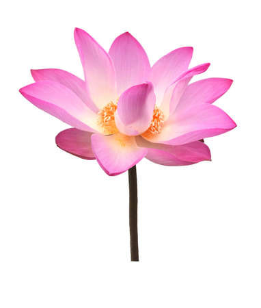 Lotus flower isolated on white background. 免版税图像 - 148685590