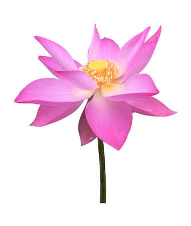 Lotus flower isolated on white background. 免版税图像 - 148685632