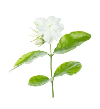 Jasmine Flower isolated on white background 免版税图像